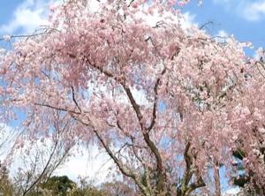 仁和寺 しだれ桜