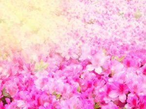 つつじ ピンク 満開