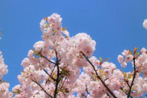 御室桜 青空