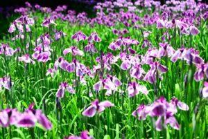 ハナショウブ 紫 満開