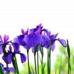 多賀城あやめ祭り2019の見頃と開花!ライトアップやイベントは?