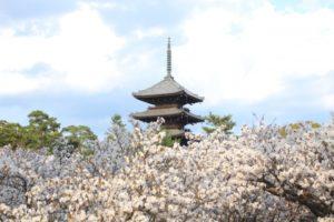仁和寺 五重塔 御室桜