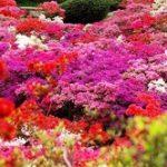 鯖江市西山公園つつじまつり2019!見頃と開花状況は?駐車場は?