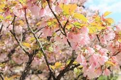 仁和寺 御室桜 拝観料