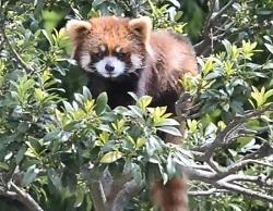 レッサーパンダ 動物園
