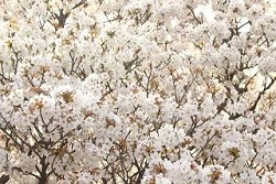 御室桜 有名
