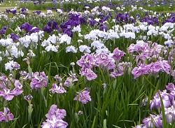 あやめ畑 満開 青 白 紫