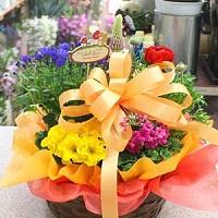 ギフト用 鉢花