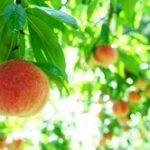 長野県桃狩り人気おすすめランキング2019!時期や食べ放題は?