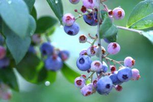 木に実ったブルーベリー