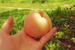 長野県 美味しい 桃