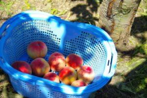 かごに収穫した桃