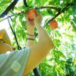 山梨県桃狩り人気おすすめランキング2019!時期や食べ放題は?