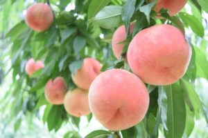 たくさん実っている桃