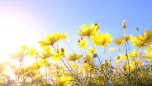 夕日を浴びる黄色のコスモス