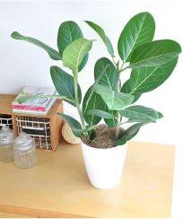 ゴムノキ 観葉植物