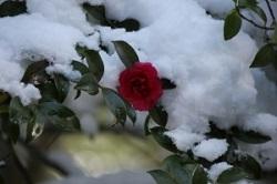 雪をかぶった寒椿