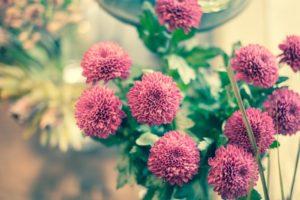 マム パープル 花