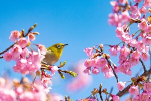 青空と桜とメジロ