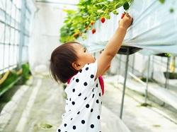 石川県 美味しい いちご