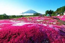 関東 芝桜 人気