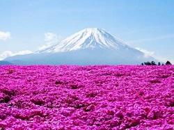名所 ピンク 絨毯