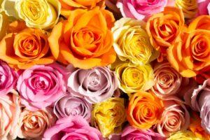 カラフルなバラの花々